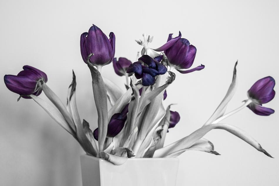 Verblühte Tulpen II