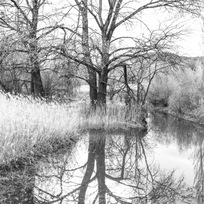 Baum_Geroldswil